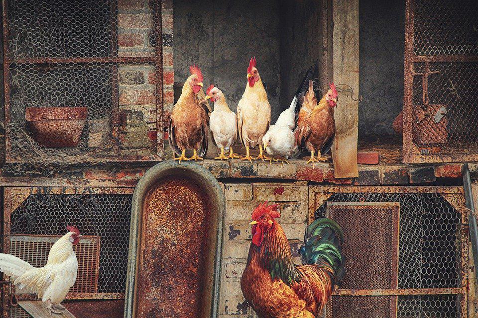 Come cambia il tuo pollame con la porta automatica